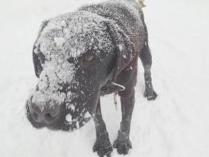 大雪でパル(ラブ)のお顔にも雪が積もっちゃいました~2014.1.12