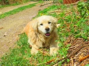 春の陽気が気持ち良さそう・・歓ちゃん(ゴールデン)も良い笑顔です。よく見るとおでこに桜の花びらのってます。2014.5.12
