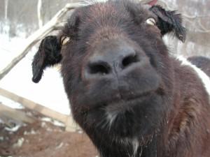 初代ヤギのヒロシくん。牧場の雑草の管理を一人でがんばってくれていました。ありがとうヒロシ~2002.3.17