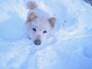 雪が大好きモコちゃん(雑種)。おでこに雪が積もってるよ!2009.2.17