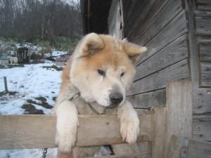 我輩はそちらで遊びたいのだ!大きなハチ(秋田犬)はいつも小運動場に行きたがってました!2011.11.28
