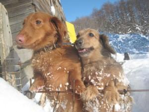 ポコ(左Mダックス)とハッピー(右Mダックス)は真冬でも雪の中を走り回ってました!パワフルなんです!2012.12.13