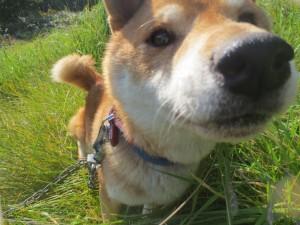 タロウ(柴犬)は走るのが大好き!いつも草原を駆け回っています。2014.10.9